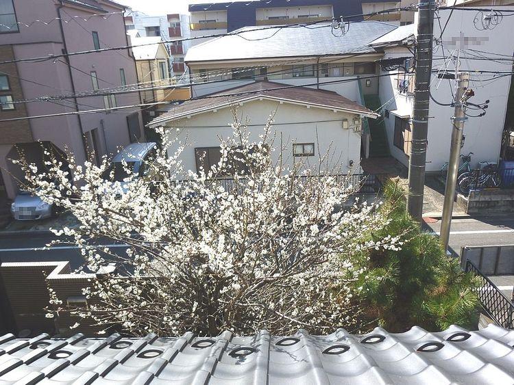 2階の洋室からもお庭の梅が見えます。