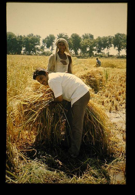 パキスタン人夫婦が稲刈りをしている写真です。