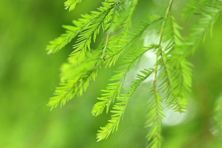 緑色の針葉植物の葉のアップ写真です。