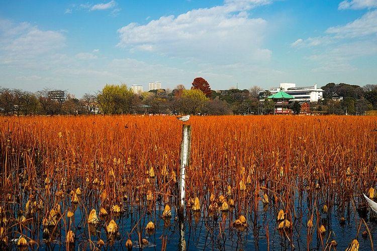 上野恩賜公園内、秋の不忍池の写真です。