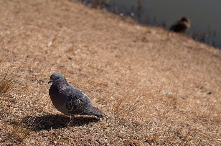 草むらを歩いているハトの写真です。