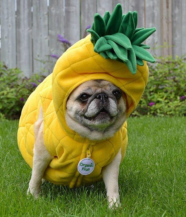 パイナップルの着ぐるみを着た子犬ちゃん